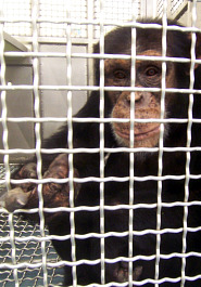 Chimpanzee in cage at New Iberia Research Center