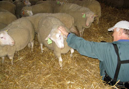 Sheep saved from slaughter