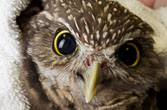 Burrowing owl closeup (photo by Aaron Ansarov for The HSUS)