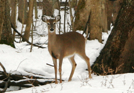 deer_snow_mbrasted_265x184.jpg