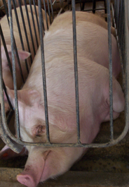 Sow in gestation crate