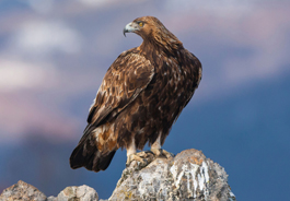 golden_eagle_blickwinkel_alamy_265x184.jpg