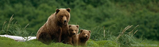 Grizzly bear mom and cubs