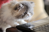 kitten_laptop_carrigphotos _istock_167x110.jpg (photo by Carrig Photos/iStockphoto)