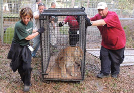 Volunteers transport a cougar to a trailer.