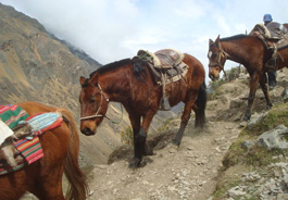 Working horses in Peru