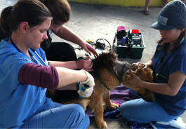 HSVMA-RAVS volunteers remove embedded chain from Minnie's neck