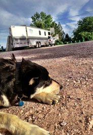 Boomer lays down with HSVMA-RAVS rig behind him