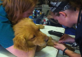 HSVMA-RAVS volunteers prep dog for surgery