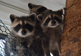 Young raccoons in their habitat at South Florida Wildlife Center