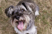 yorkie_167x110 (photo by iStockphoto)