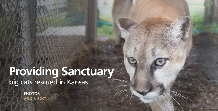 Big Cats in Cages: Wild Animals Rescued in Atchison, Kansas